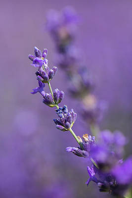 Photograph - Smell The Lavender by Pierre Cornay