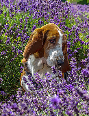 Basset Hound Photograph - Smelling Good by Angela Aird