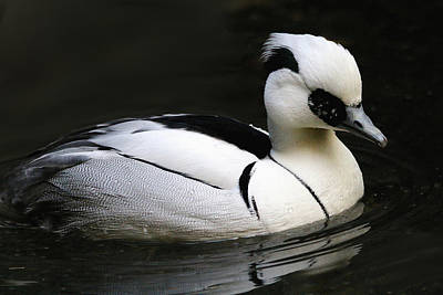 Photograph - Smew by Living Color Photography Lorraine Lynch