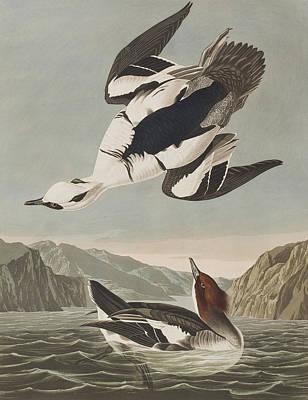 Smew Or White Nun Print by John James Audubon