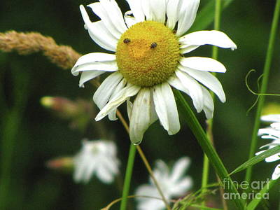 Sean Photograph - Smiley Face Ox-nose Daisy by Sean Griffin