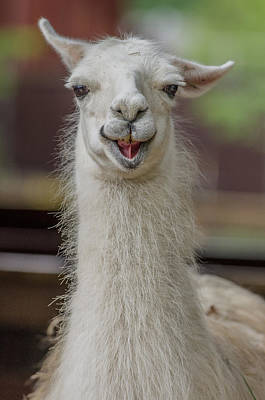 Alpacas Photograph - Smiling Alpaca by Greg Nyquist