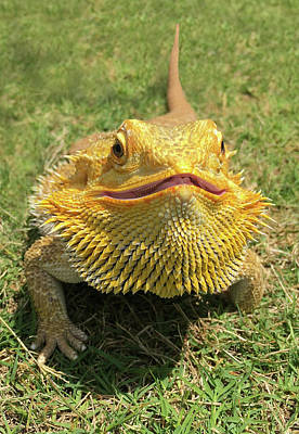 Smiling Bearded Dragon  Art Print by Susan Leggett