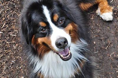 Bernese Mountain Dog Photograph - Smiling Bernese Mountain Dog by Pelo Blanco Photo