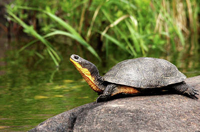 Photograph - Smiling Blanding's Turtle by Debbie Oppermann