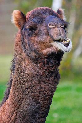 Smiling Camel Art Print by Naman Imagery