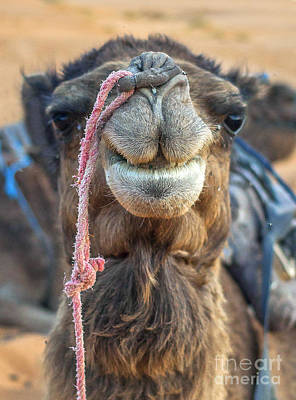 Photograph - Smiling Camel by Patricia Hofmeester