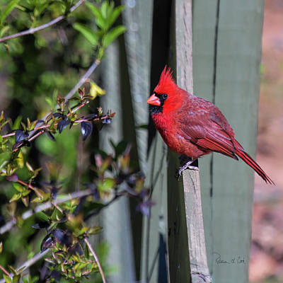 Photograph - Smiling Cardinal by Bellesouth Studio