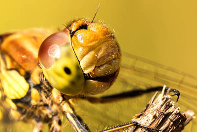 Macro Dragonfly Photograph - Smiling Dragonfly by Ian Hufton