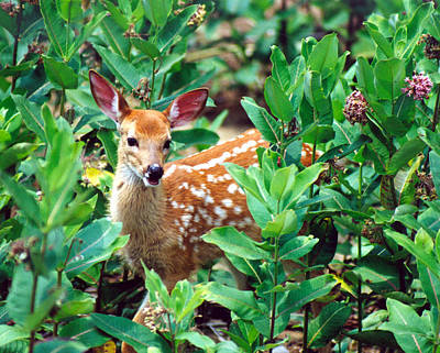 Photograph - Smiling Fawn by John Burk