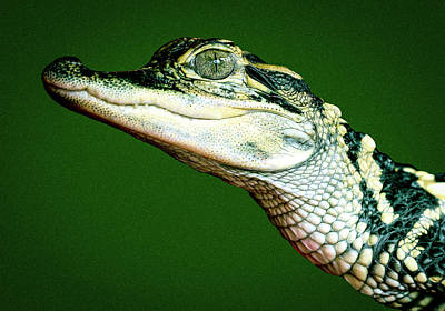 Photograph - Smiling Gator by Jean Noren