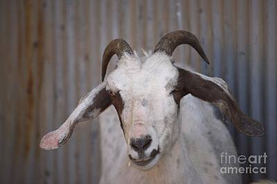 Photograph - Smiling Goat by Mary-Lee Sanders