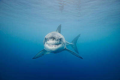 Underwater View Photograph - Smiling Great White Shark by Dave Fleetham - Printscapes