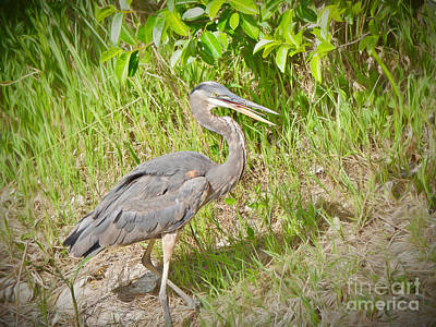 Wildlife Photograph - Smiling Heron by Judy Kay