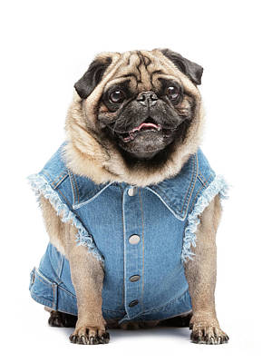 Photograph - Smiling Pug In Fashionable Vest. by Michal Bednarek