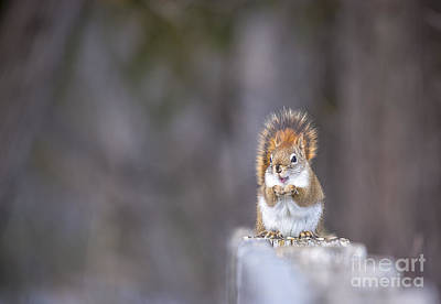 Photograph - Smiling Red Squirrel by Cheryl Baxter