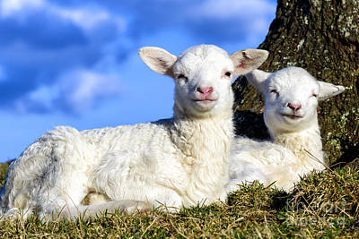 Smiling Spring Lambs  Art Print by Thomas R Fletcher