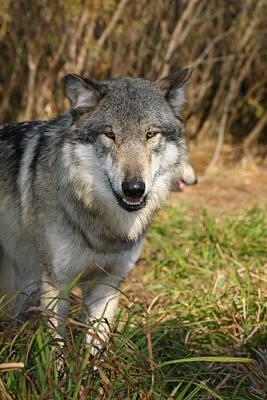 Smiling Wolf Art Print