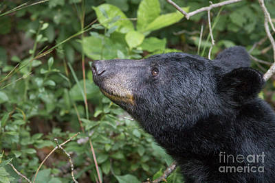 Photograph - Smiling Black Bear by David Cutts