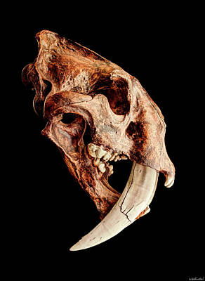 Photograph - Smilodon Fatalis Skull 1 by Weston Westmoreland
