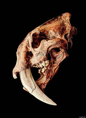 Photograph - Smilodon Fatalis Skull 3 by Weston Westmoreland