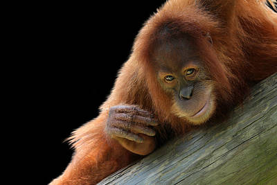Photograph - Cute Young Orangutan by Debi Dalio