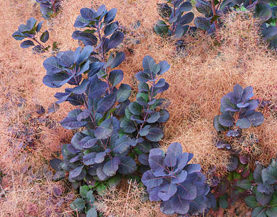 Photograph - Smoke Bush by L J Oakes