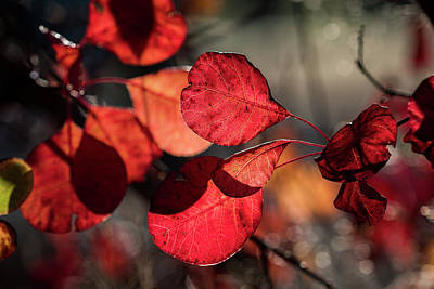 Photograph - Smoketree Reds by Robert Potts