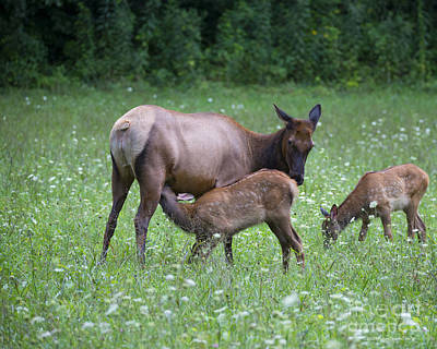 Photograph - Smoky Mountain National Park Elk Cow Nursing Calf by Nature Scapes Fine Art