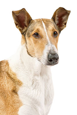 Photograph - Smooth Collie Isolated Portrait by Martin Capek