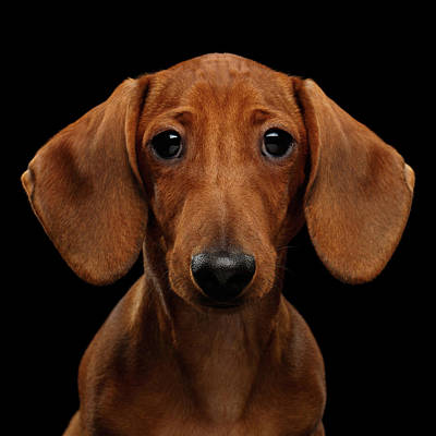 Photograph - Smooth-haired Dachshund by Sergey Taran