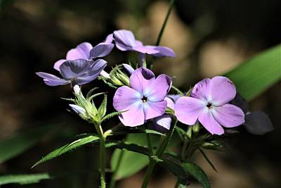 Photograph - Smooth Phlox Wildflowers by Sheila Brown