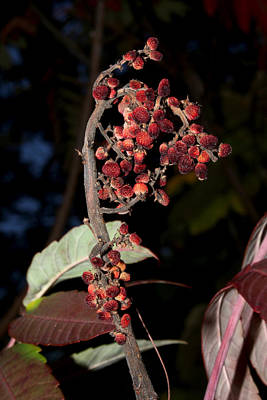 Smooth Sumac Flower Art Print by Robert Morin