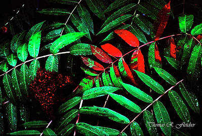 Rhus Photograph - Smooth Sumac by Thomas R Fletcher