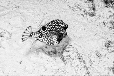 Trunkfish Wall Art - Photograph - Smooth Trunkfish by Perla Copernik
