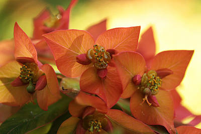 Spurge Photograph - Smouldering Embers by Connie Handscomb