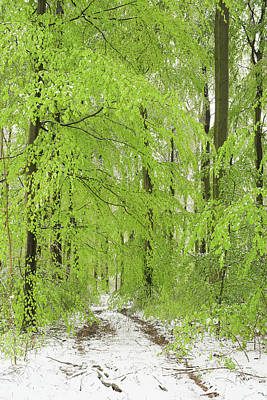 Photograph - Snow In Spring, Fresh Green Foliage In Beech Tree Forest by Martin Stankewitz