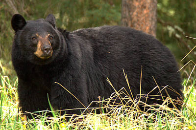 Photograph - Smug Black Bear by Adam Jewell