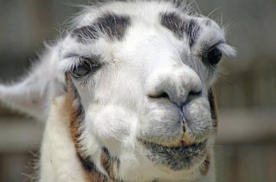 Smug Llama Original by Kenneth Albin