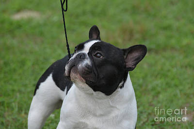 Bullie Photograph - Smug Mug Of A French Bulldog by DejaVu Designs