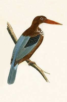 Kingfisher Drawing - Smyrna Kingfisher by English School
