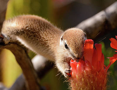 Round-tailed Ground Squirrel Photograph - Snack Time by Emily Bristor