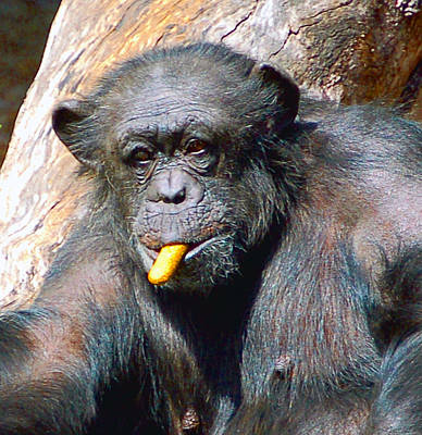 Photograph - Snacking Chimpanzee II by Donna Proctor