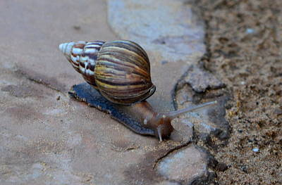 Photograph - Snail by Dean Ferreira