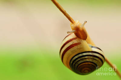 Snail  Art Print by Joe  Ng