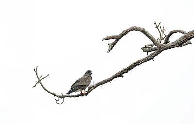 Photograph - Snail Kite by Elizabeth Winter