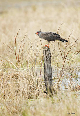 Photograph - Snail Kite by Fran Gallogly