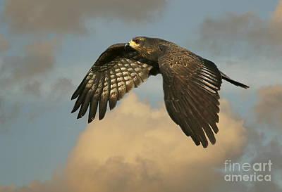 Photograph - Snail Kite In Flight by Myrna Bradshaw