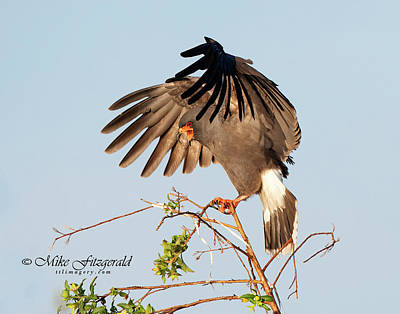 Photograph - Snail Kite Landing by Mike Fitzgerald