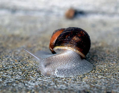 Photograph - Snail On The Move by Michele Avanti
